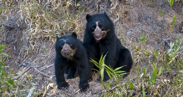 La PUCE estrenará coproducción científica sobre el oso andino