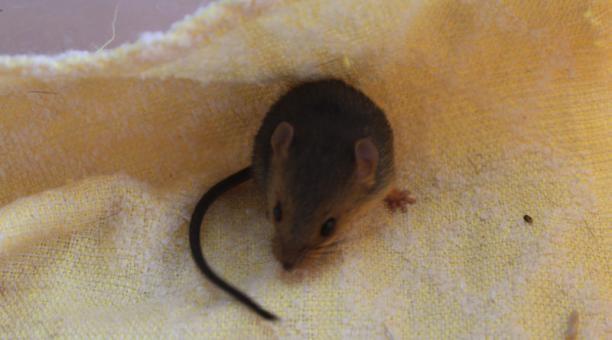 EL COMERCIO: Nueva especie de roedor fue descubierta en el sur de Ecuador