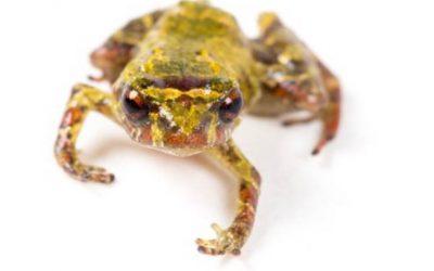 El Comercio: Científicos descubren la rana más pequeña del Ecuador